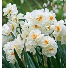 Daffodil Bulbs (Double) - Sir Winston Churchill - Bag of Spring/White Flowers and Yellow/orange Cups, Eden Brothers Daffodil Bulbs, Bulb Flowers, Daffodils, Narcissus Bulbs, Pansies, Winston Churchill, Sir Winston, Churchill Quotes, Exotic Flowers
