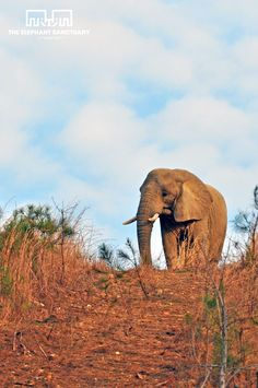 The Elephant Sanctuary: Happy first day of spring! Tange explores her habitat under blue skies.