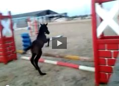 This little foal isn't wasting any time in his quest to become a champion jumper.