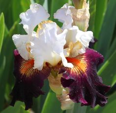 TB Iris germanica 'Connection' (Ghio, 2000)