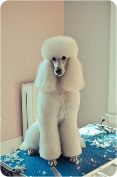 Poodle clean feet clean face top knot