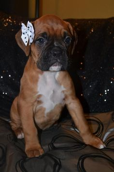 Boxer Girl...I want another baby girl puppy so that I can put a bow in her hair!!! #boxerpuppy