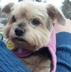 Mittie is an adoptable Yorkshire Terrier Yorkie Dog in Princeton, MN. You can fill out an adoption application online on our official website. Birthdate (estimated):   I love      I have    I get alo...
