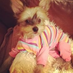 Chinese crested hairy hairless wearing a rainbow outfit.