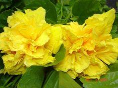 Live Hibiscus Plant Big Double Yellow Flowers Easy to Grow Plant by Emerald Goddess Gardens, http://www.amazon.com/dp/B0040VQTVY/ref=cm_sw_r_pi_dp_Vryisb17WNR6E