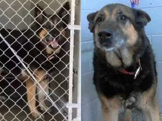 """GONE --- CARMEN - ID #A473393 (MUST EXIT ON 10/10) ~Carmen was confiscated with Ben #A473392. Both in kennel 23. Carmen is listed as """"fearful"""" Maria's VIDEO: http://www.youtube.com/watch?v=alBwxKYmUY0 I am a female, black and brown German Shepherd Dog.  San Bernardino City Shelter  https://www.facebook.com/photo.php?fbid=10202246483677405&set=a.3186215868195.111836.1649756531&type=3&theater"""
