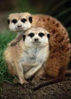 Meerkats belong to the mongoose family.