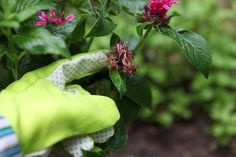 Deadheading a Bee Balm Plant Oregano Plant, Sage Plant, Growing Mint, Growing Lavender, Low Growing Shrubs, Growing Herbs, Bee Balm Flower, Bee Balm Plant, How To Propagate Lavender