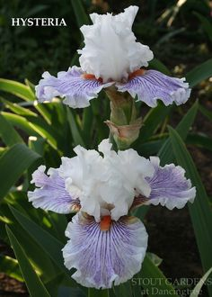 "(Barry Blyth 2009) TB iris, 33"" (84 cm), ML. AUSTRALIA Flowers: S. pure white; F. white, overall veining and faint wash of lavender violet deepening at gold hafts; beards vivid tangerine; slight sweet"