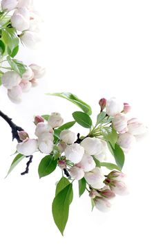 apple blossoms | STILL (mary jo hoffman)