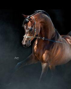 THAMER AL KHALED -  2005 Straight Egyptian Stallion -  (El Thay Khemal Pasha x RN al Shahba)