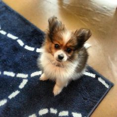 Pomeranian-Chihuahua mix puppy! #pomchi #fluff #squee