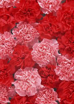 Carnations are known for their rainbow spectrum of hues, and each color conveys a different message.