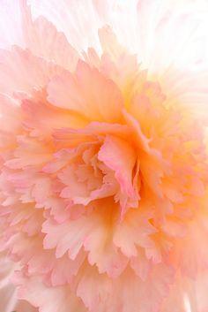 Stunning begonia pin by Rebecca Doerflinger <Shingan Photography on Flickr>
