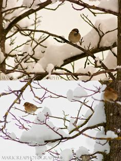 Sparrows in the snow. Photography by Mari Crea. #birds #winter #nature