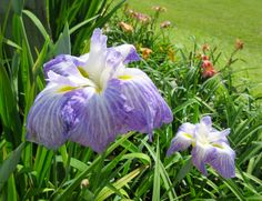 JAPANESE IRIS - HOZAN. We have mature plants of Japanese Iris in our official Japanese Iris Society Display Garden. The best week to see them is usually the first week of June. You can call to make sure. Click on the picture to go to our website for additional information about visiting our garden. #japaneseiris