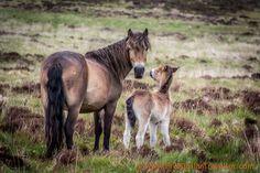 Wild ponies in Exmore