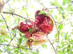Wild pomegranate, Greece, October. Άγρια ροδιά, συλλογή Οκτώβριος. Η έλλειψη νερού τους θερινούς μήνες κάνουν τα ρόδια να ανοίγουν.