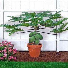 30ps/bag Dwarf hovey Papaya seeds bonsai Organic fruit seeds tree seeds rare Delicious fruit plant papaya potted for home garden #Minimalistas