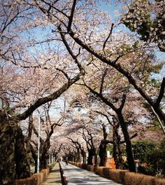 Cherry Blossom tunnel @ Aoyama cemetry, Tokyo