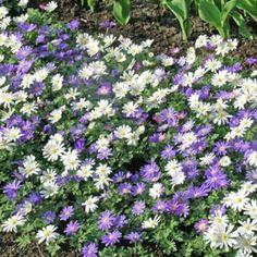 Floraison en mars-avril: Anémone blanda (de grèce) sous-bois ou rocaille