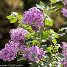Bloomerang® Purple reblooming lilac is the perfect match for Radiant Orchid - and since it blooms in spring and in fall, you can enjoy its color and fragrance for months instead of weeks. http://emfl.us/HRGd