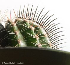 Kaktus, Wimper, Pflanze, Stachelig, Grün, Zimmerpflanze, Deko