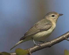 Warbling vireo (Vireo gilvus) | East Rock Park, New Haven (Connecticut)