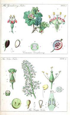 Botanical - Educational plate - Ladies botany 2