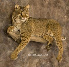bobcat taxidermy mount