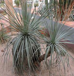 Yucca elephantipes. http://www.elhogarnatural.com/Arboles.htm