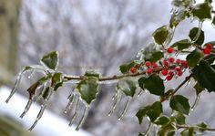Frozen holly berries.
