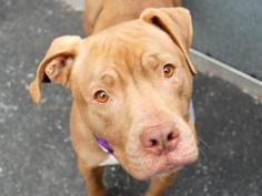 BROWNY is an adoptable Pit Bull Terrier Dog in New York, NY. A volunteer writes: Browny is a handsome boy wearing a tan apparently well cared for coat. His eyes shine like two new copper pennies. He w...