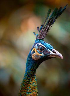 Peacock portrait 3 by Alan Shapiro