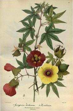 Flora of the Cashmere - Gossypium herbaceum + G. arboreum #botanical #flower