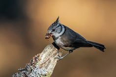 Crested Tit, Norway | by janmangorfagerland Eagle Bird, Love Photography, Norway, Feathers, Birds, Friends, Pictures, Animals, Beautiful