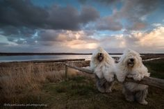 Old English sheepdog sisters love to pose for photos. Truly magical.