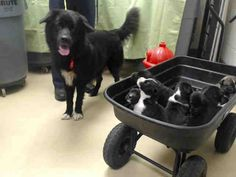 URGENT HOUSTON - This DOG - ID#A418967 thru 71  I am a black and white Newfoundland mix.  My age is unknown.  I have been at the shelter since Nov 04, 2014. Harris County Public Health and Environmental Services at (281) 999-3191