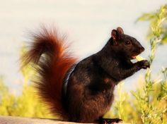Squirrel - Lake Ontario.