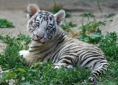 #tigre #cachorro #tigres #tiger