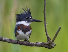 A bird with a long beak and spiky feathers on its head perches on a tree branch.