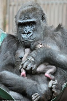 The unexpected arrival of this adorable baby gorilla has delighted visitors at Prague Zoo
