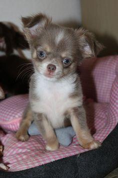 Chihuahua lilac