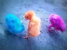 Colored chicks! My dad and mom got us a pink, yellow, neon green, & blue baby chicks one year for Easter.  Now that I look back.....how BIZARRE