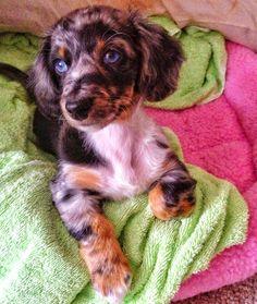 My Baby Belle <3 instagram : @babybluebelle    Silver Dapple Daschund Puppy