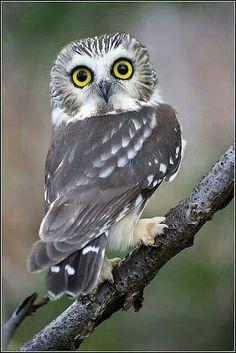 Saw-whet Owl:Bird of Prey Owl Photos, Owl Pictures, Beautiful Owl, Animals Beautiful, Majestic Animals, Vogel Illustration, Baby Animals, Cute Animals, Baby Owls