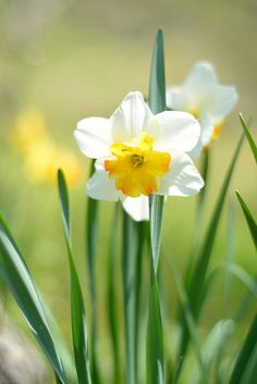 Narcissus 'Daffodil'.Native to meadows and woods in Europe, North Africa and West Asia, with a center of distribution in the Western Mediterranean. It is frequently linked to the  Greek myth of Narcissus, who became so obsessed with his own reflection that as he  knelt and gazed into a pool of water, he fell  into the water and drowned.The narcissus plant sprang from where he died.Warning:Poisonous.All Narcissus species contain the alkaloid poison lycorine, mostly in the bulb...