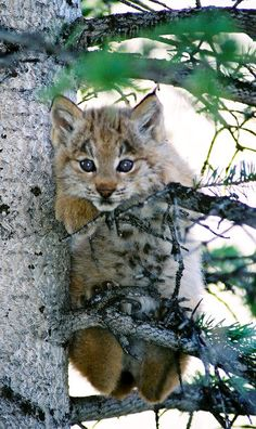 Endangered.  A two-month-old Canadian lynx kitten scales a branch in southwest Colorado. The state is doing all it can to ensure that the endangered animals survive after being reintroduced to the state in the late 1990s.