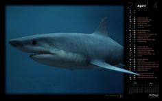 Great White Shark (Rendered)