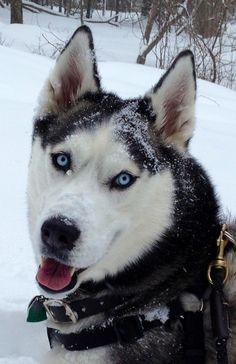 Siberia Husky.  The snow makes Keiko sooooo happy!